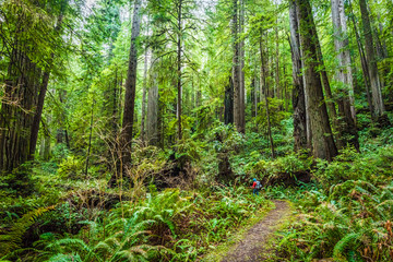A day hiker explores the forested back country along the Brown Creek Trail in Prairie Creek Redwoods State Park, CA.