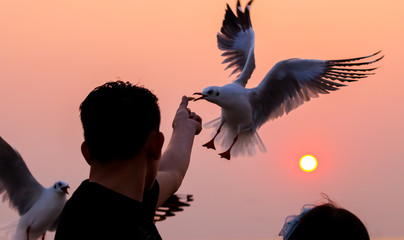 Seagull taking food from hand at sunset in Thailand