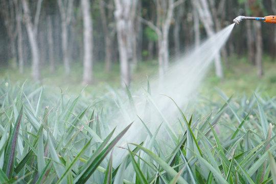 crop spraying in the pineapple fruit field