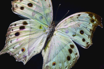 Macro photo of an illuminated butterfly. This is a  Mother of Pearl African Salamis Parhassus species on a black background.