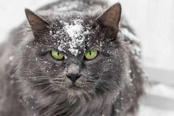 a cat, covered with snow, looks ahead, a predator