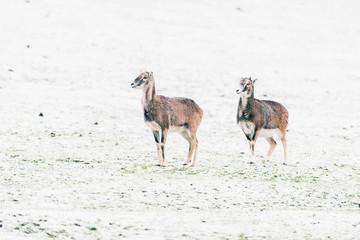 Two mouflons (Ovis orientalis orientalis) standing in snowy meadow.