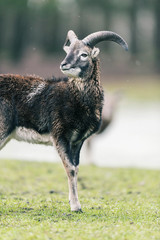 Mouflon buck (Ovis orientalis orientalis) standing in meadow with snow.