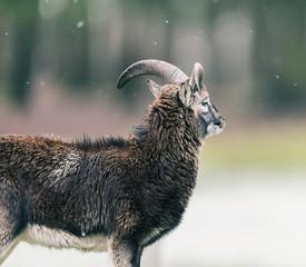 Mouflon ram (Ovis orientalis orientalis) standing in meadow during light snowfall. Side view.