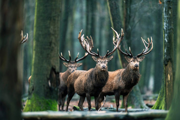 Photo sur Plexiglas Cerf Three red deer stag standing together in forest.