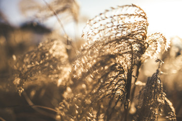 Miscanthus sinensis, maiden grass, chinese silver grass in sunset. Close up view