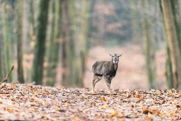 Mouflon young standing alone in autumn forest.