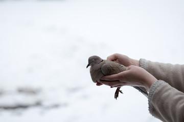 Weak Turdus Merula Common Blackbird in woman hands outdoor in winter