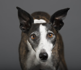 Funny whippet dracula