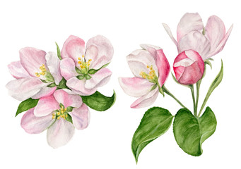 hand-painted watercolor illustration of Apple blossom with buds and leaves