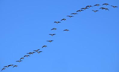 Vogelzug, Zugvögel, migratory birds, 18010.jpg