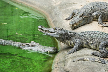 Image of three agressive crocodiles aside green wate