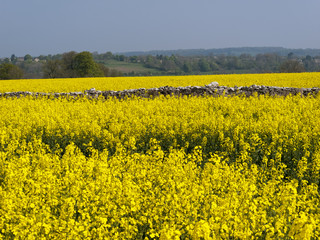 A vibrant spring landscape of yellow oil seed rape in the Cotswolds near Chalford, UK