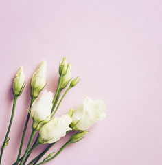 Prairie Gentian Flowers on pink paper background