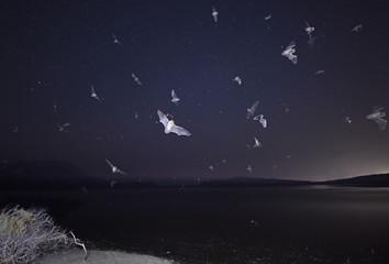 Fledermäuse über einer Lagune in Griechenland Pylos / Peloponnes / Greece