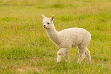 Baby Alpaca on green glass field, farm animal