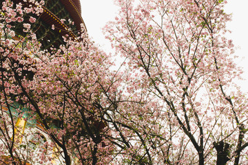 Closeup Branch of Blossom pink sakura tree in the Tianyuan Temple,Taiwan
