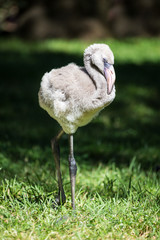 A view of a greater flamingo (Phoenicopterus roseus)