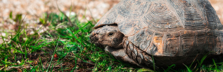 Steppe Asian turtle