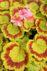 Pelargonium zonale yellow and red foliage with red flowers background