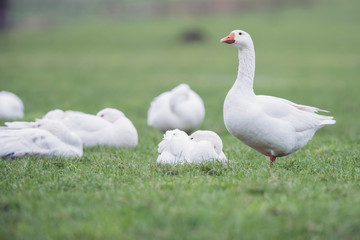 Group of domestic goose (Anser anser domesticus) with one standing in meadow.