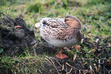 Female mallard (Anas platyrhynchos) resting on edge of ditch.