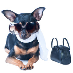 Glamorous dog isolated. Toy Terrier. Spring theme, a dog in a scarf, with a bag and sunglasses