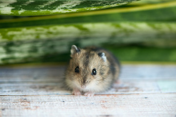 small hamster, a junggarlooks into the camera, against a background of green foliage