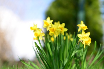 Foto op Canvas Narcis Blumen im Frühlingserwachen