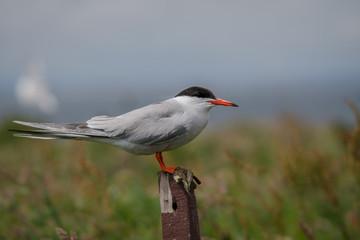 Fotoväggar - Arctic Tern Adult perched