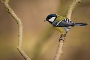 Fotoväggar - UK Wild Great Tit Bird