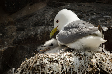 Fototapete - Kittiwake Adult with Chick