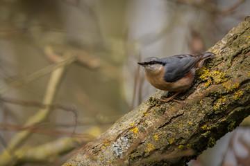 Fotoväggar - Nuthatch perched UK wild bird