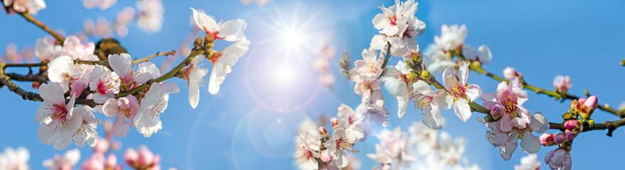 Wall Mural - Glückwunsch, alles Liebe: Verträumte Kirschblüten vor blauem Frühlingshimmel :)