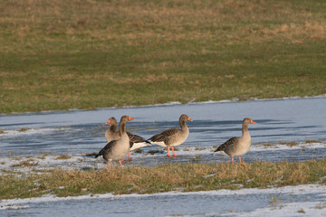 Small group of greylag geese on a grass field with frozen surface water in winter