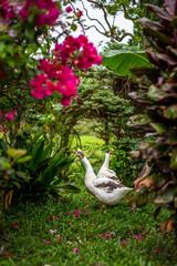 couple d'oies dans un jardin, au milieu des fleurs en train de chercher quelque chose à manger