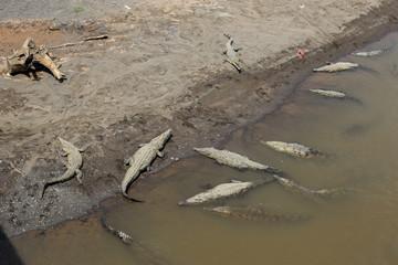Crocodiles au bord d'une rivière, dans la nature