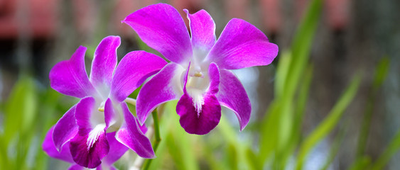 Image of beautiful purple orchid flowers in the garden. Floral background. Wide photo.