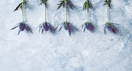 Wall Mural - Amethyst Sea Holly Flowers on gray stone background (flat lay arrangement)