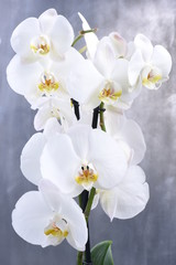 White orchid flower on gray background