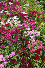 Dianthus, Sweet William