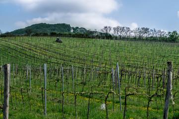 Vineyard in southern Moravia
