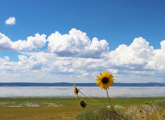 Sunflower in front of lake against beautiful blue sky with fluffy clouds