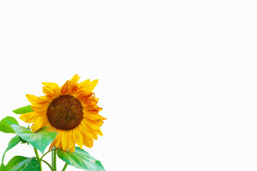 Happy sunflower  with leaves isolated on White Background - Room for Text