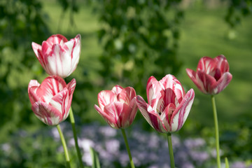 Spring garden, a clump of striped pink and white tulips