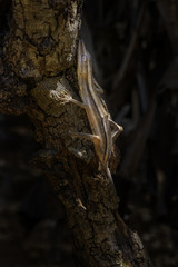 Lined Leaf-tail Gecko - Uroplatus lineatus, Madagascar rain forest. Rare well masked gecko, endemic in Madagascar. Mimicry. Camouflage.