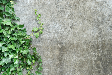 background with ivy / Background with gray plastered wall and ivy leaves