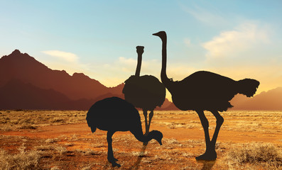 ostrich family at sunset