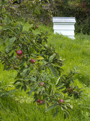 Apples in an orchard with a beehive beyond in soft focus