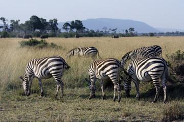 Zebras Grazing in the African Grasslands